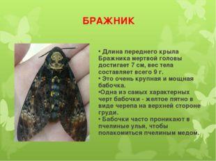БРАЖНИК Длина переднего крыла Бражника мертвой головы достигает 7 см, вес тел