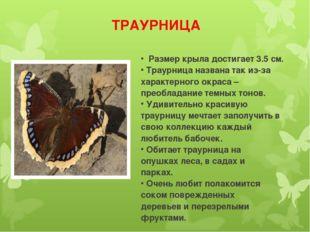 ТРАУРНИЦА Размер крыла достигает 3.5 см. Траурница названа так из-за характер