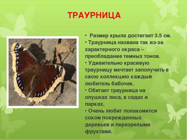 ТРАУРНИЦА Размер крыла достигает 3.5 см. Траурница названа так из-за характер...