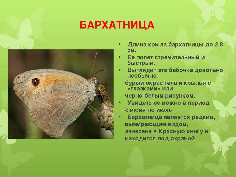 БАРХАТНИЦА Длина крыла бархатницы до 2,8 см. Ее полет стремительный и быстрый...