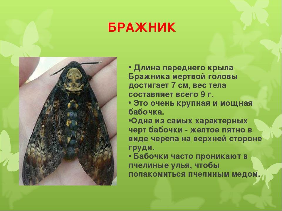 БРАЖНИК Длина переднего крыла Бражника мертвой головы достигает 7 см, вес тел...