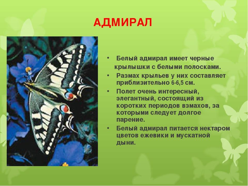 АДМИРАЛ Белый адмирал имеет черные крылышки с белыми полосками. Размах крылье...
