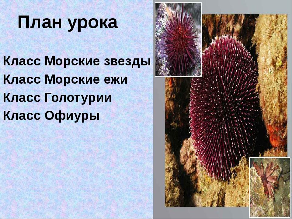 Класс Голотурии Мешковидное тело с венчиком ветвистых щупалец вокруг рта. Вдо...
