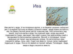 Ива Ива растет у воды. И за полярным кругом, и на берегах широких сибирских р