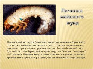 Личинки майских жуков (известные также под названием бороздняки) относятся к