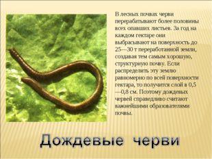 В лесных почвах черви перерабатывают более половины всех опавших листьев. За