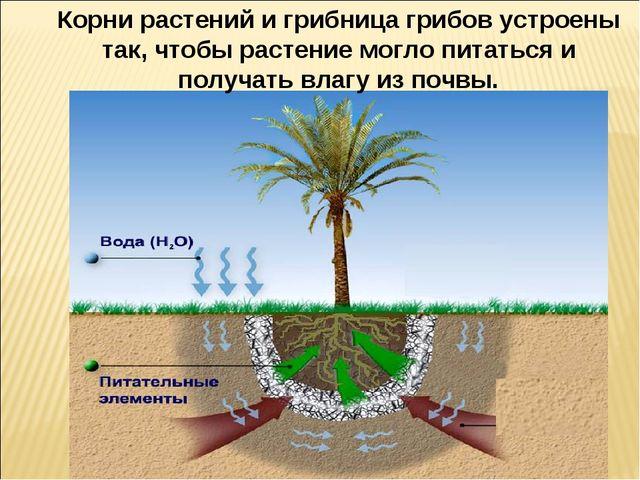 Корни растений и грибница грибов устроены так, чтобы растение могло питаться...
