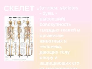 СКЕЛЕТ - (от греч. skeletos - букв. - высохший), совокупность твердых тканей