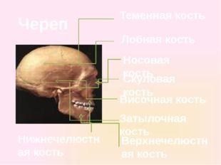 Теменная кость Височная кость Лобная кость Затылочная кость Носовая кость Вер