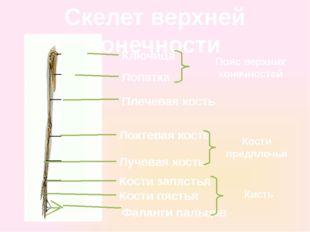 Скелет верхней конечности Ключица Лопатка Плечевая кость Локтевая кость Лучев