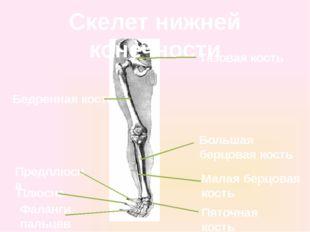 Скелет нижней конечности Тазовая кость Бедренная кость Большая берцовая кость