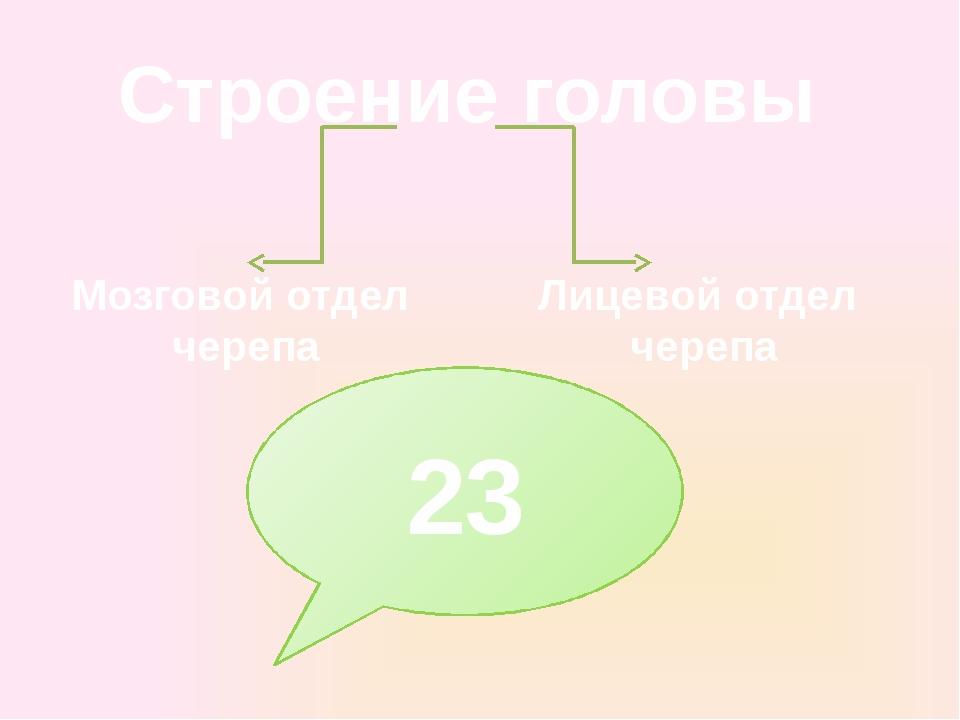 Строение головы Мозговой отдел черепа Лицевой отдел черепа 23
