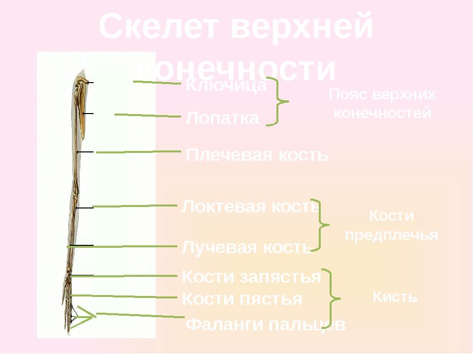 Скелет верхней конечности Ключица Лопатка Плечевая кость Локтевая кость Лучев...
