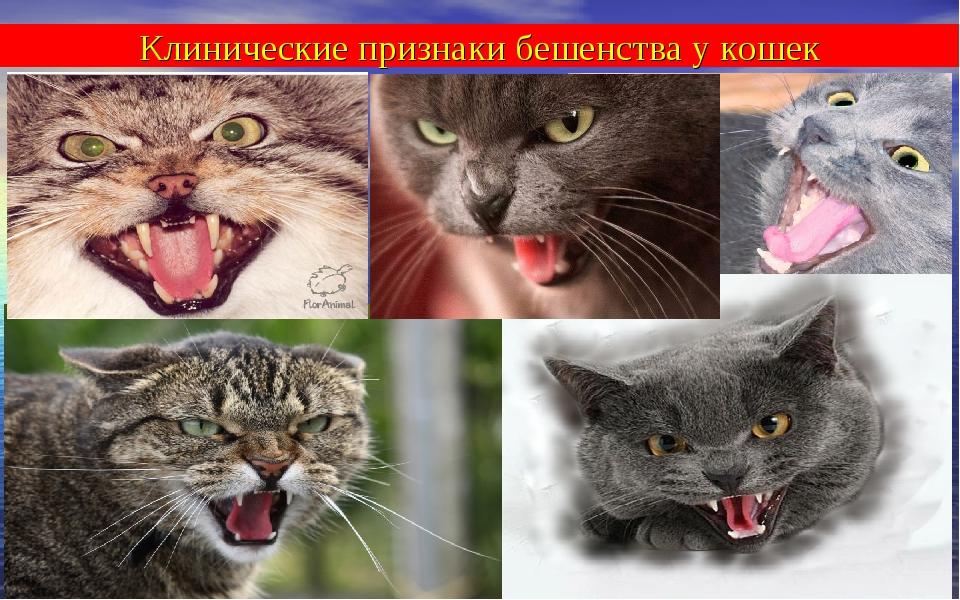 Клинические признаки бешенства у кошек