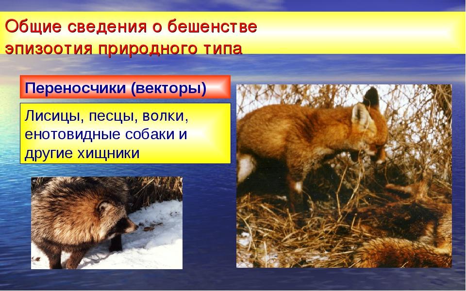 Общие сведения о бешенстве эпизоотия природного типа Лисицы, песцы, волки, ен...