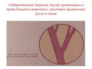 Сибиреязвенные бациллы, быстро размножаясь в крови больного животного, заполн