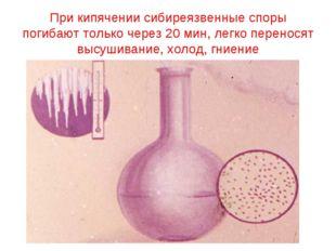 При кипячении сибиреязвенные споры погибают только через 20 мин, легко перено