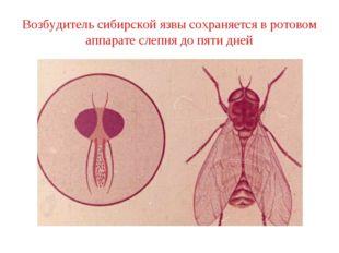Возбудитель сибирской язвы сохраняется в ротовом аппарате слепня до пяти дней