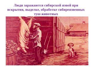 Люди заражаются сибирской язвой при вскрытии, выделке, обработке сибиреязвенн