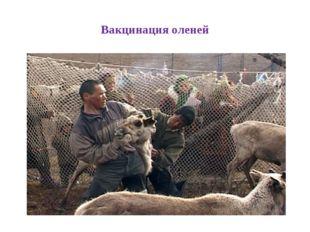 Вакцинация оленей