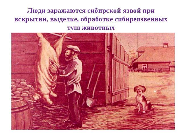 Люди заражаются сибирской язвой при вскрытии, выделке, обработке сибиреязвенн...