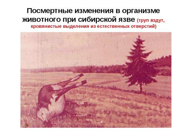 Посмертные изменения в организме животного при сибирской язве (труп вздут, кр...