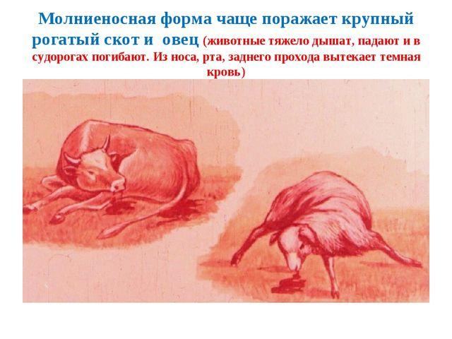 Молниеносная форма чаще поражает крупный рогатый скот и овец (животные тяжело...