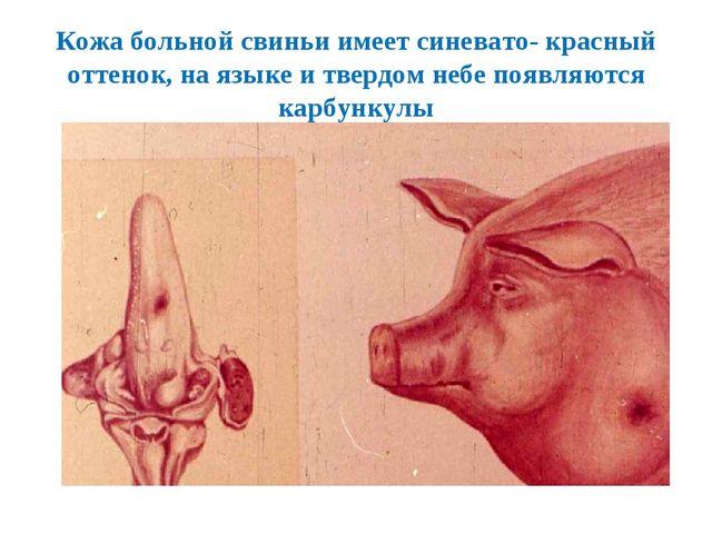 Кожа больной свиньи имеет синевато- красный оттенок, на языке и твердом небе...