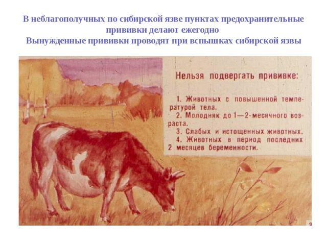 В неблагополучных по сибирской язве пунктах предохранительные прививки делают...