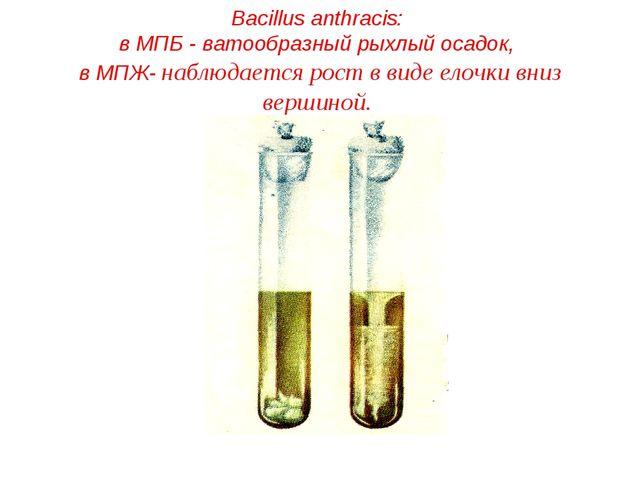 Bacillus anthracis: в МПБ - ватообразный рыхлый осадок, в МПЖ- наблюдается ро...