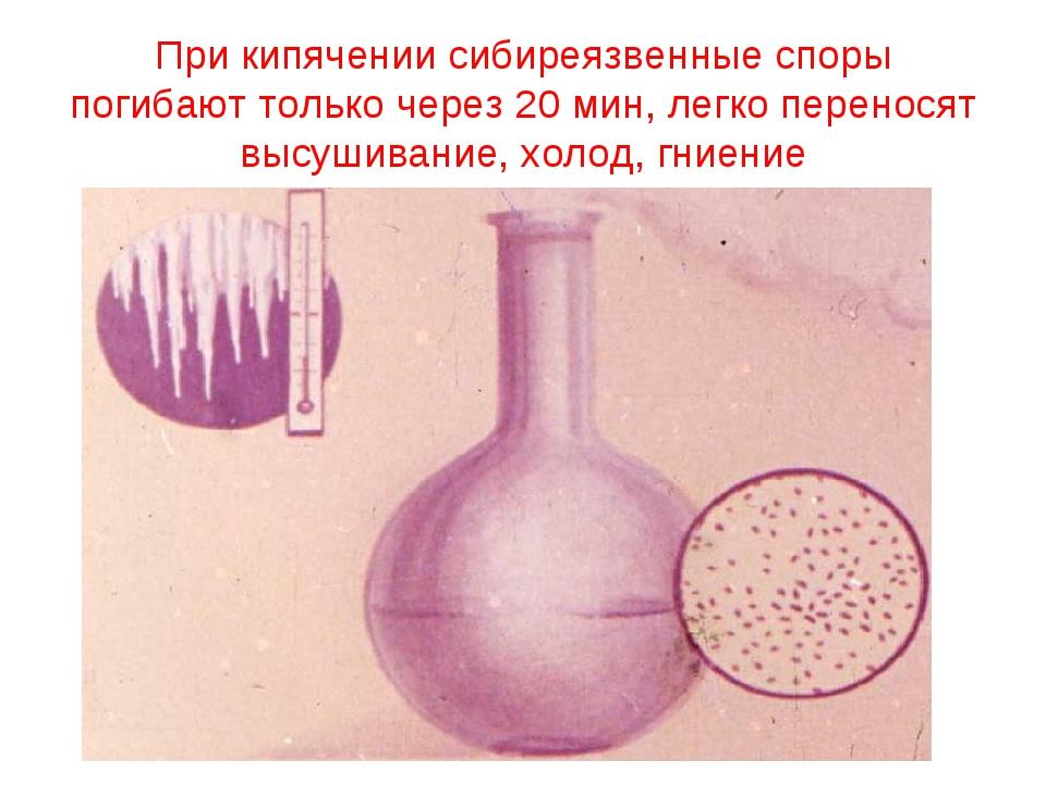 При кипячении сибиреязвенные споры погибают только через 20 мин, легко перено...
