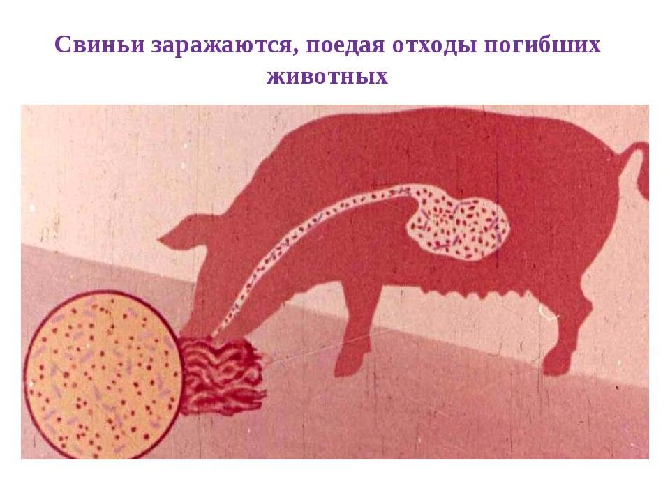 Свиньи заражаются, поедая отходы погибших животных