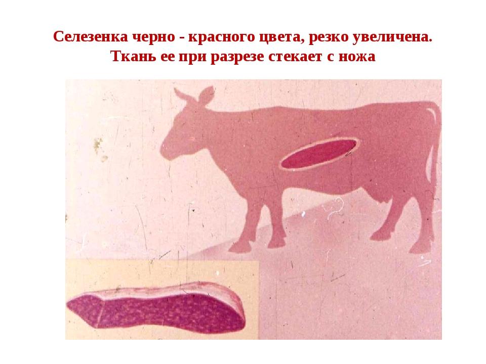 Селезенка черно - красного цвета, резко увеличена. Ткань ее при разрезе стека...
