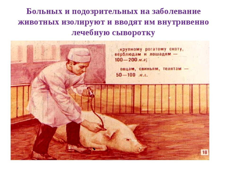 Больных и подозрительных на заболевание животных изолируют и вводят им внутри...