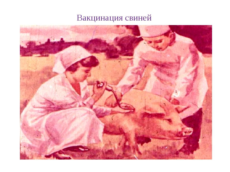 Вакцинация свиней