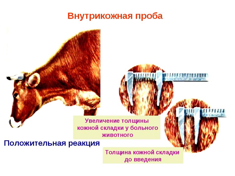 Положительная реакция Внутрикожная проба Толщина кожной складки до введения У...