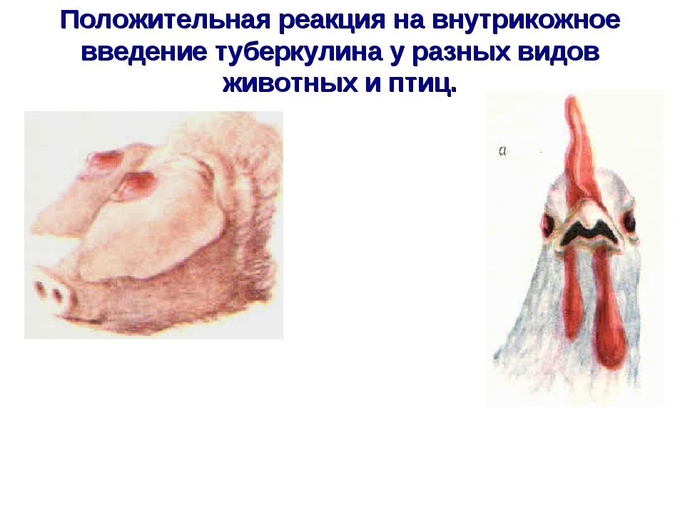 Положительная реакция на внутрикожное введение туберкулина у разных видов жив...