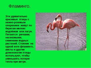 Эти удивительно красивые птицы с нежно-розовым оперением живут по берегам мел