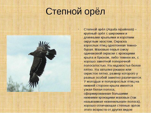 Степной орёл Степной орёл (Aquila nipalensis) – крупный орёл с широкими и дли...