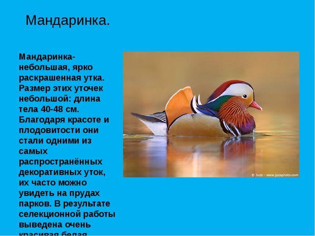 Мандаринка- небольшая, ярко раскрашенная утка. Размер этих уточек небольшой:...