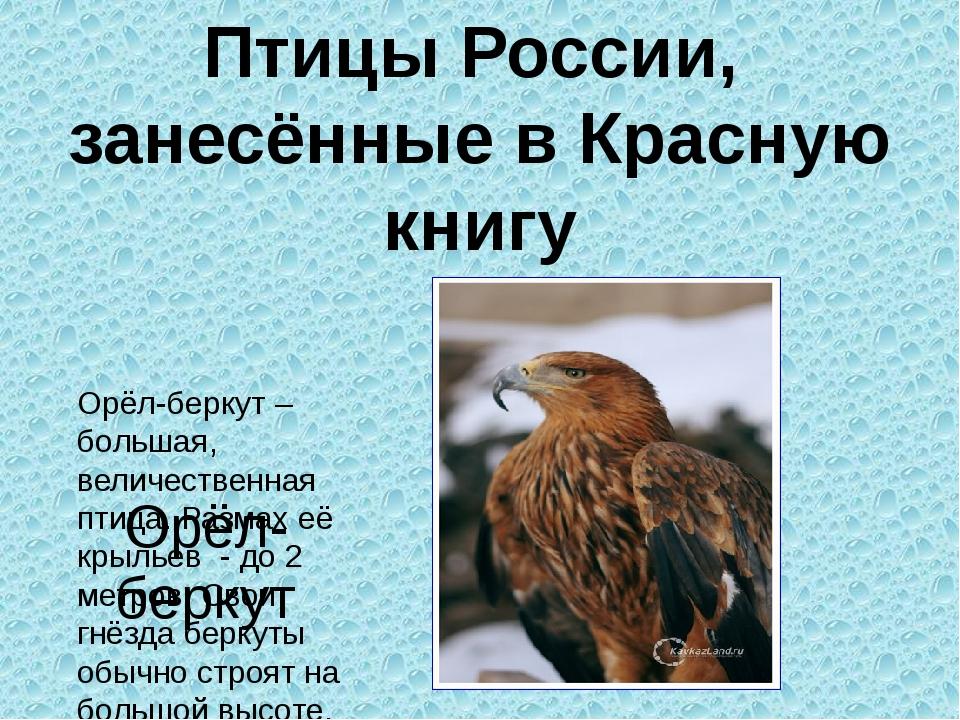 Орёл-беркут – большая, величественная птица. Размах её крыльев - до 2 метров...