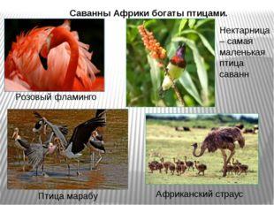 Саванны Африки богаты птицами. Розовый фламинго Африканский страус Птица мара