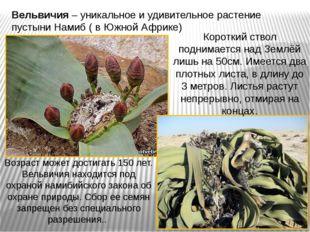 Вельвичия – уникальное и удивительное растение пустыни Намиб ( в Южной Африке
