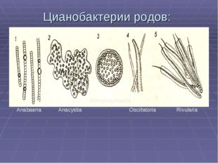 Цианобактерии родов: Anabaena Anacystia Gomphosphaeria Oscillatoria Rivularia
