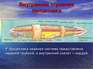 Внутреннее строение ланцетника У ланцетника нервная система представлена нерв