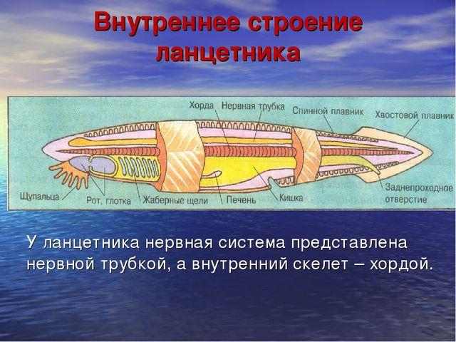 Внутреннее строение ланцетника У ланцетника нервная система представлена нерв...