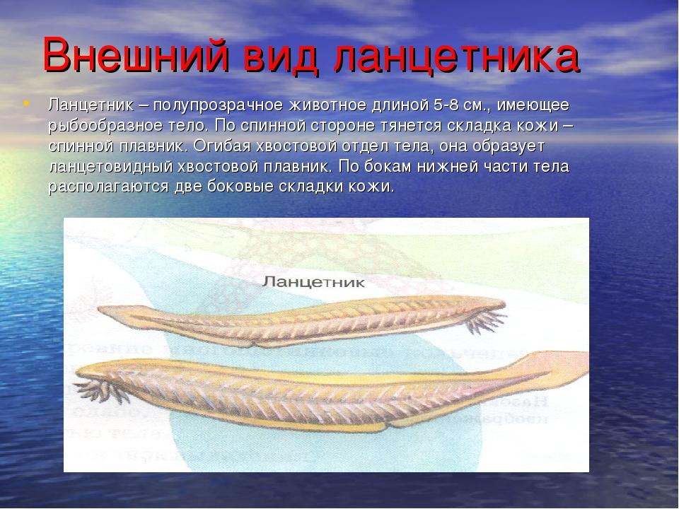 Внешний вид ланцетника Ланцетник – полупрозрачное животное длиной 5-8 см., им...