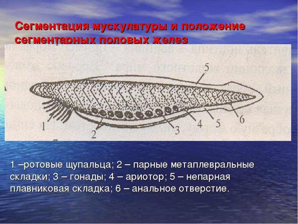 Сегментация мускулатуры и положение сегментарных половых желез 1 –ротовые щуп...