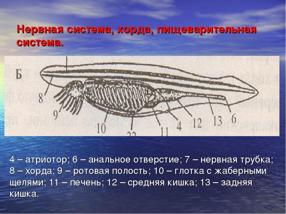 Нервная система, хорда, пищеварительная система. 4 – атриотор; 6 – анальное о...