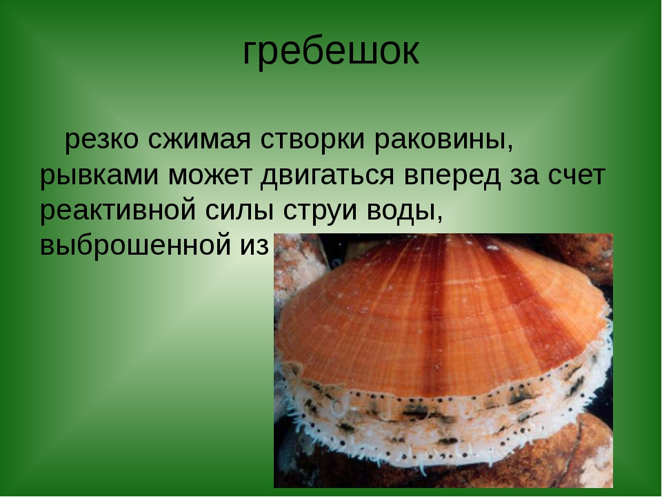 гребешок резко сжимая створки раковины, рывками может двигаться вперед за сче...